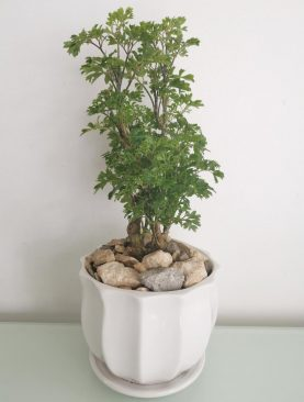 Planta Polyscias Fruticosa