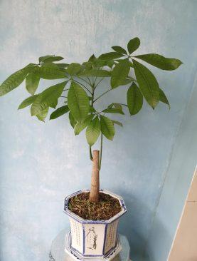 Planta Pachira Acuática