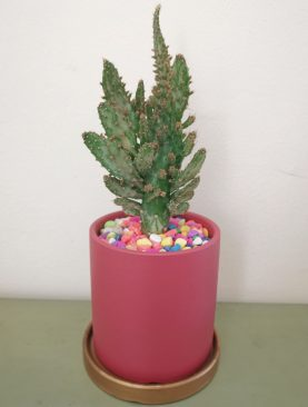 Planta cactu