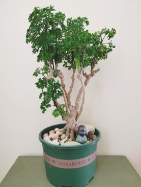 bonsai Polyscias mediano
