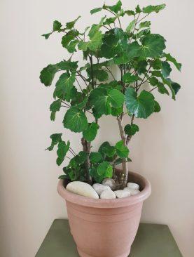 Plantas Polyscias